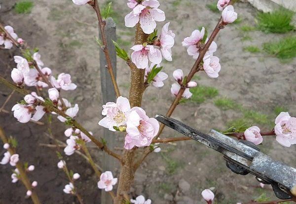 Какую почву любит персик