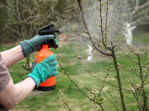 Обработка сливы весной от болезней и вредителей