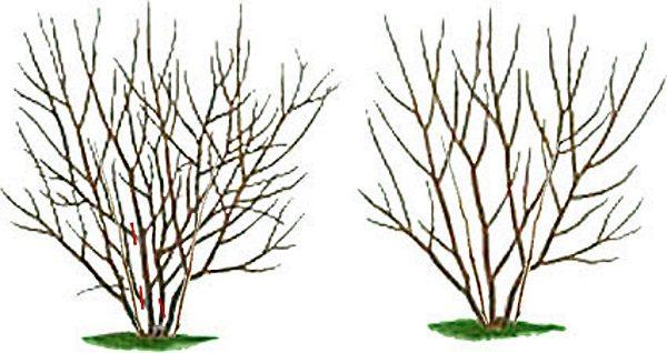 Обрезка черноплодной рябины осенью: когда и как правильно подрезать ветки черной рябины, как формировать куст черноплодки (схемы), дальнейший уход