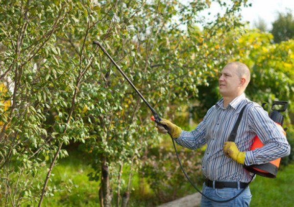 Как избавиться от парши на груше: меры борьбы и профилактики