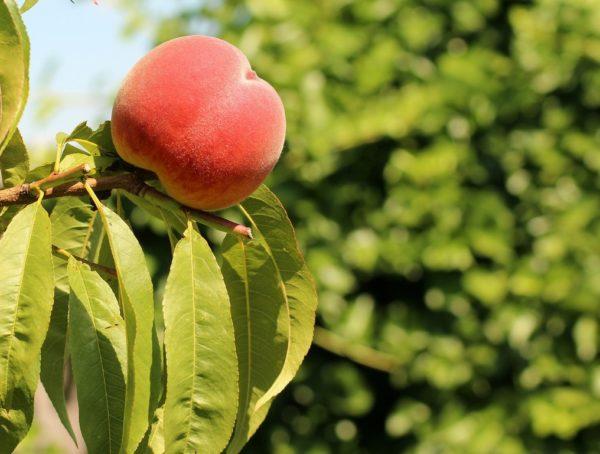 Уборка персика осенью