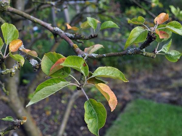 Почему яблоня не сбросила листву и что делать