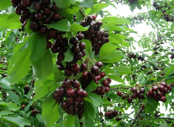 Лучшие сорта вишни для Ленинградской области