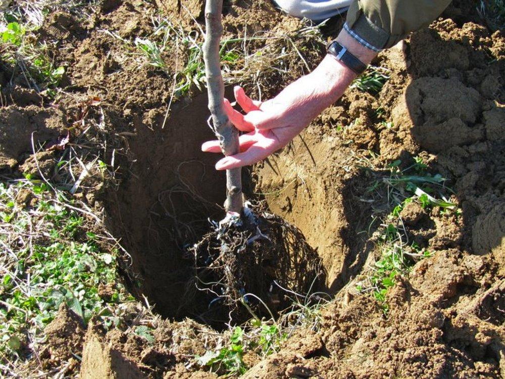 Как правильно посадить черешню
