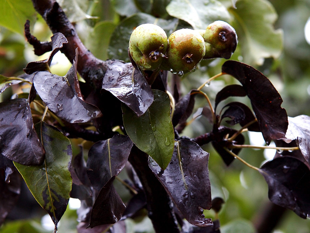 Почему чернеют груши на дереве