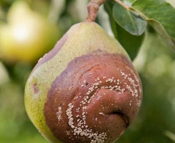 Чем лечить ржавчину на листьях груши: как бороться с болезнью, чем опрыскивать
