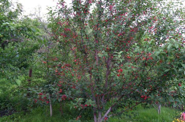 Сорта опылители для вишни и черешни в Беларуси