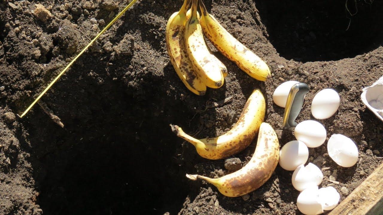 Если закопать банан на огороде