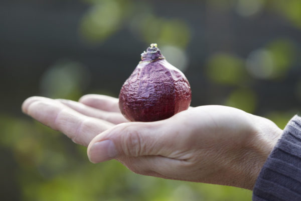 Цветок гиацинт: посадка и уход, выгонка, когда сажать луковицы, выращивание из семян в домашних условиях и в открытом грунте, как и когда пересадить