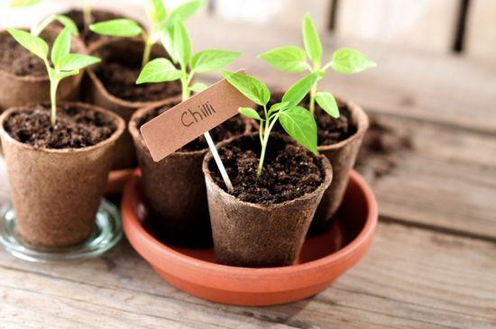 Особенности выращивания перца чили из семян