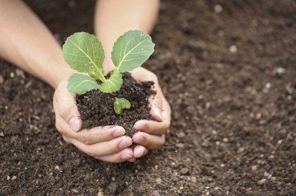 Как лучше выращивать капусту рассадой или семенами?