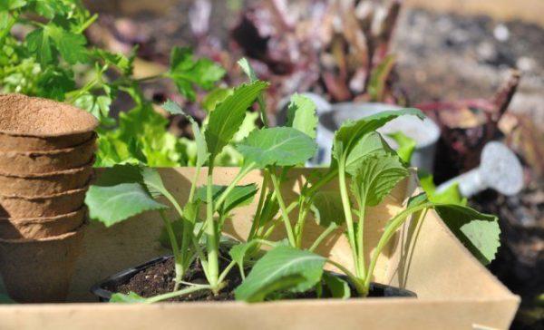 Посадка капусты под зиму в теплице