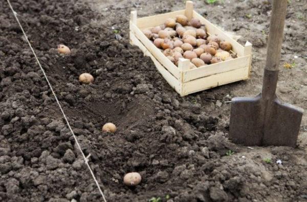 До какого числа можно сажать картошку