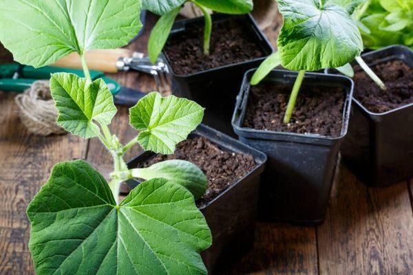 Посадка тыквы на рассаду: когда и как сажать семена дома?