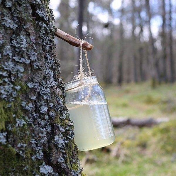 березовый сок макро фото среднерослое растение
