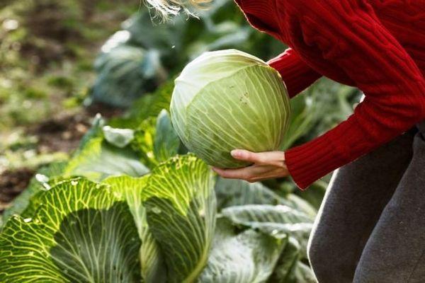 Когда убирать капусту с огорода на хранение на зиму