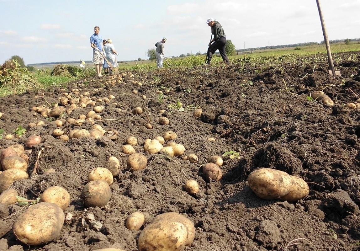 копка картофеля