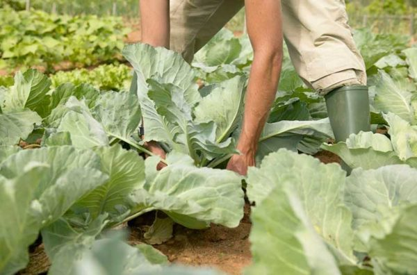 Кочерыжка от капусты польза или вред