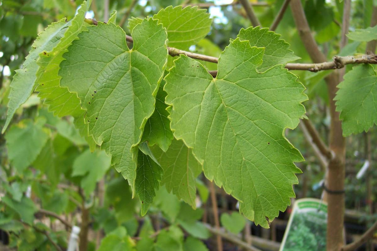 листья шелковицы