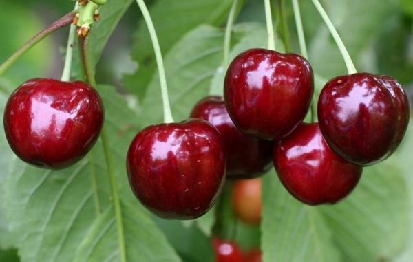 Лучшие сорта черешни для Урала и Сибири