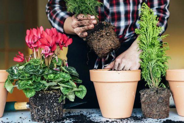 Пересаживать растения