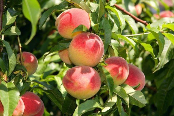Зимостойкие сорта персика для подмосковья