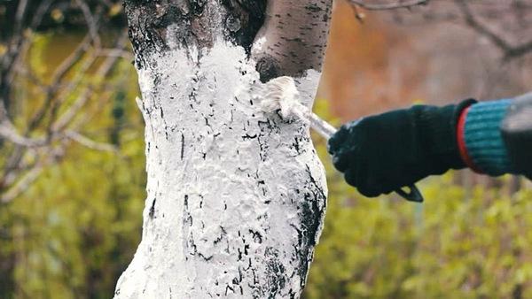 Подготовка груши к зиме в Подмосковье