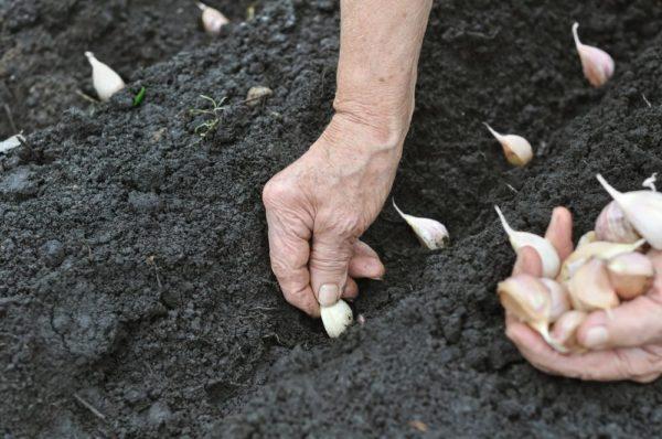 Лунный календарь для посадки чеснока под зиму