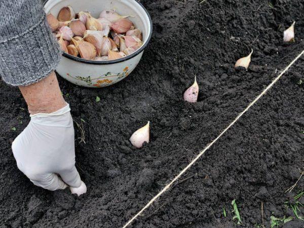 Посадка чеснока осенью под зиму в Ленинградской области