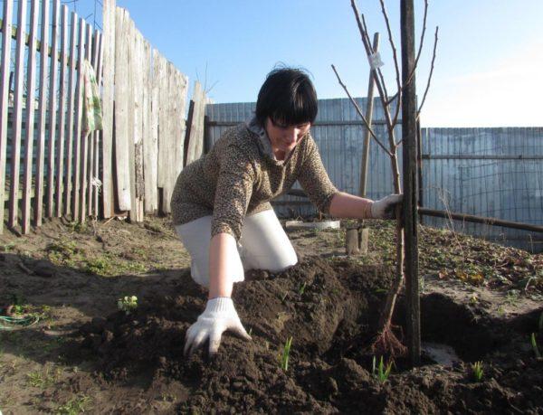 Сроки посадки персика осенью