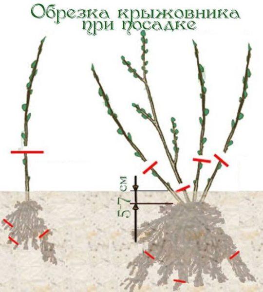 Посадка крыжовника осенью саженцами и черенками как правильно посадить