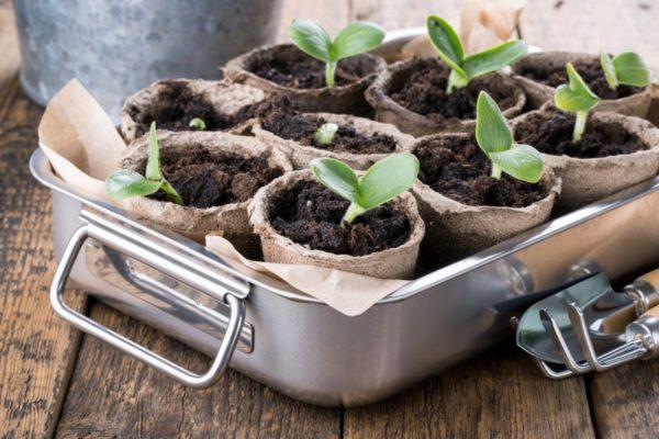 Сроки посадки тыквы на рассаду