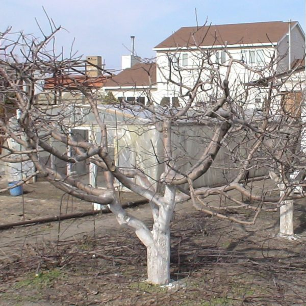Можно ли обрезать яблони зимой: достоинства и недостатки, особенности обрезки, сроки и схема