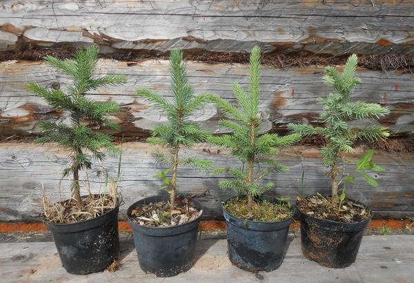 Стоит ли сажать елку на участке