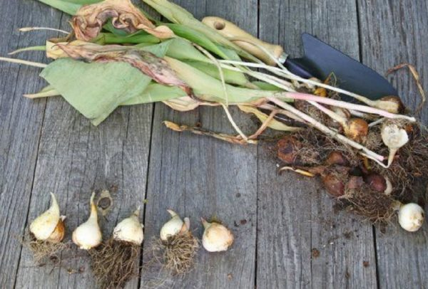 выкапывания луковиц тюльпанов
