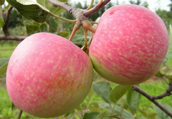 сорт яблок