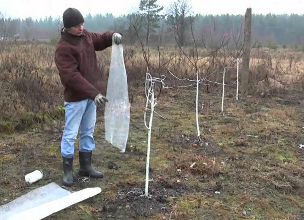 Подготовка яблони к зиме на Урале: как и когда укрыть