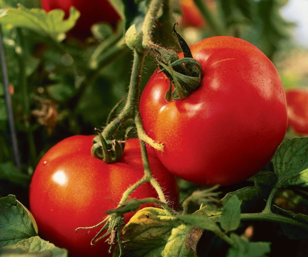 Новые сорта томатов сибирской селекции на 2020 год: наименования и характеристики помидоров, описание и фото, отзывы огородников