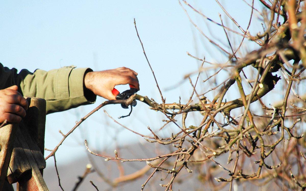 Осенняя обрезка яблонь в Сибири для начинающих: как и когда обрезать яблони