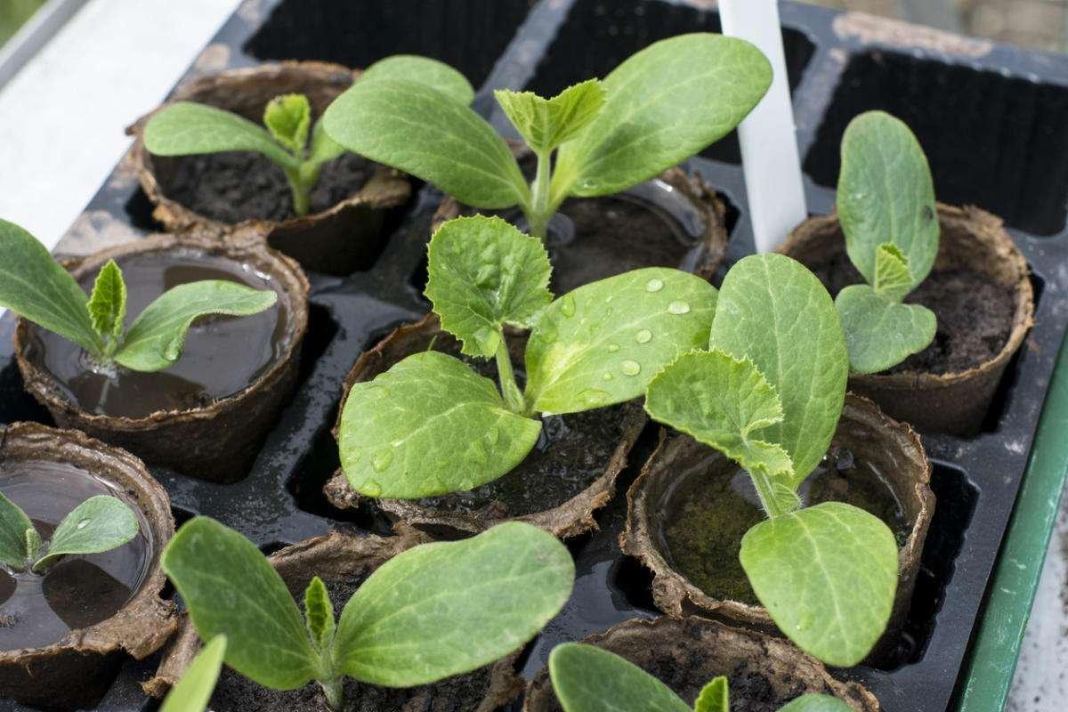 Когда сажать кабачки на рассаду в 2020 году по лунному календарю в марте: выбор благоприятных дней и особенности выращивания
