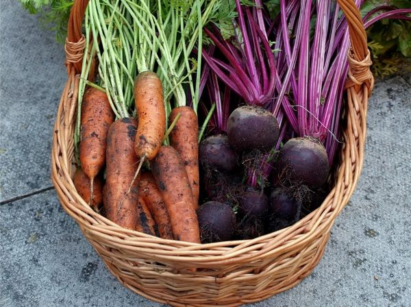 Когда убирать морковь и свеклу в Подмосковье