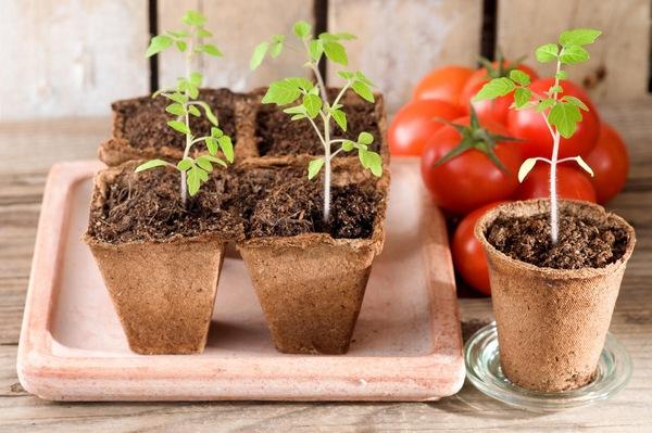 Сроки посадки помидор на рассаду
