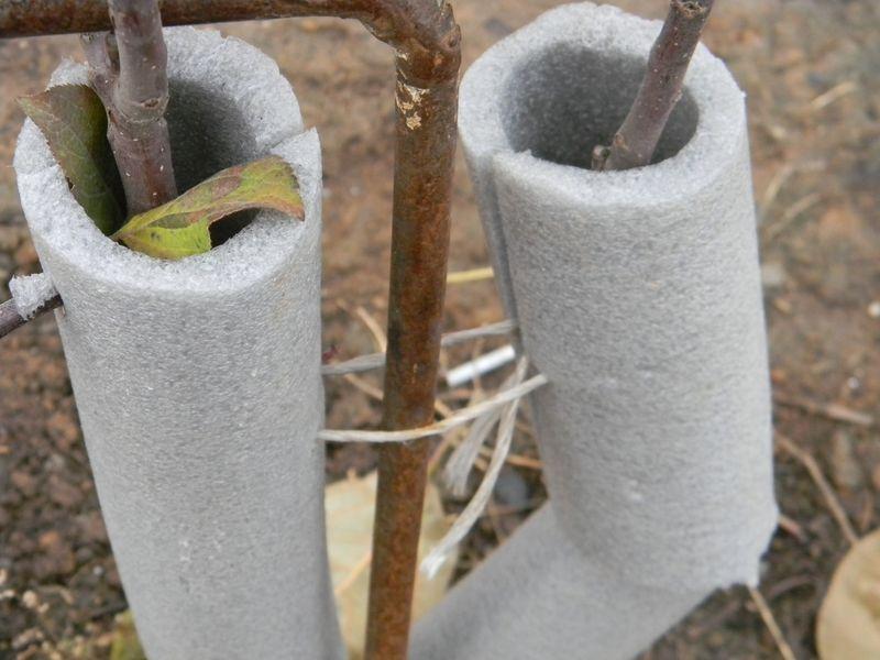 Как и чем укрыть яблоню на зиму