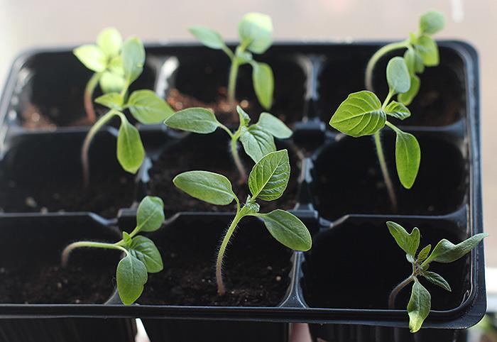 Сложности с выращиванием физалиса: почему не проклевываются семена и плохо растет рассада