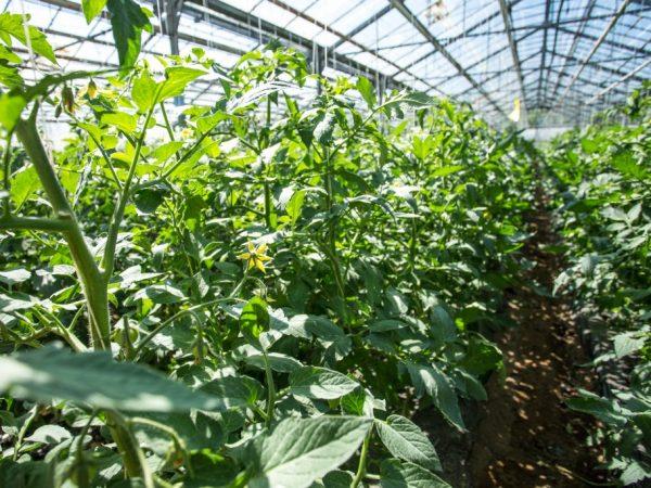 Почему томаты вытягиваются в теплице