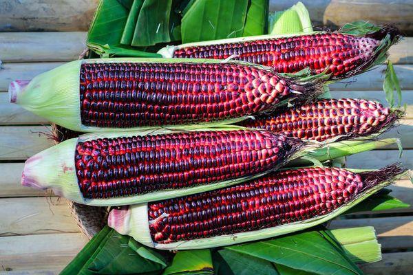 Синяя кукуруза: особенности сорта и полезные свойства