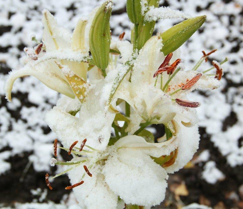 подготовить лилии к зиме