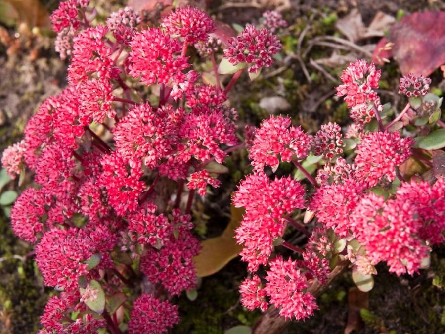 Очиток или седум: популярные сорта и разновидности цветка, подробное описание с названиями и фотографиями