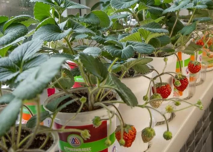 Как вырастить домашнюю клубнику на подоконнике