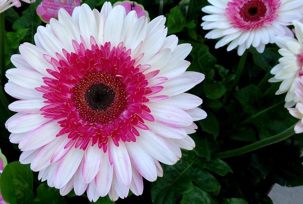 Виды гербер и популярные сорта цветка для открытого грунта и дома